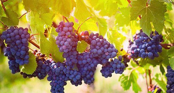 Gamay grape
