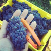 Mes premières vendanges à Prince Edward County