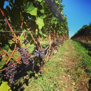 Norman Hardie - Vignes de Pinot Noir
